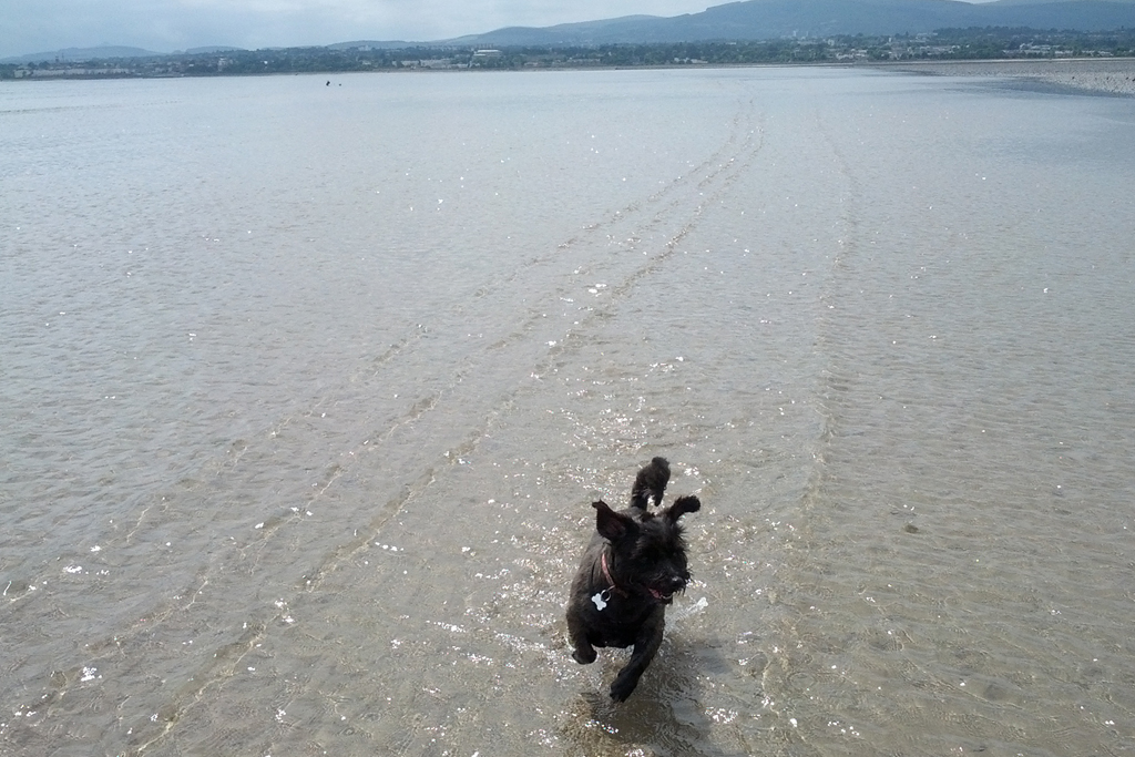 Pet Friendly Holidays in Ireland - Dog running in sea on beach © Trident Holiday Homes