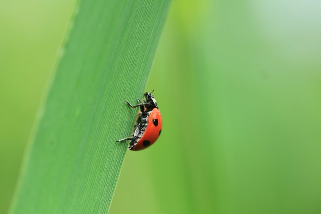 Ladybird in Ireland or Ladybug in North America