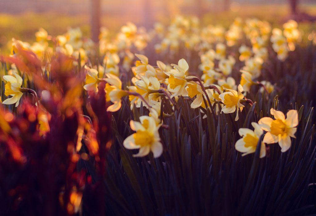 Sea of beautiful Daffodil in Ireland